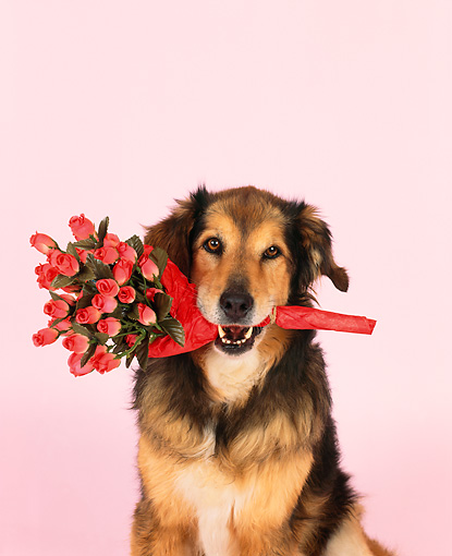 DOG 07 RK0478 02 © Kimball Stock Head Shot Of Collie Labrador Mix Sitting With Flowers In Mouth Studio