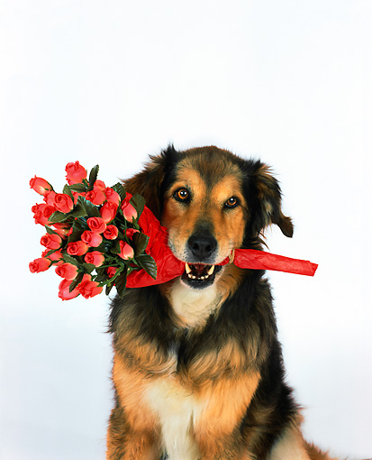 DOG 07 RK0478 03 © Kimball Stock Head Shot Of Collie Labrador Mix Sitting With Flowers In Mouth Studio