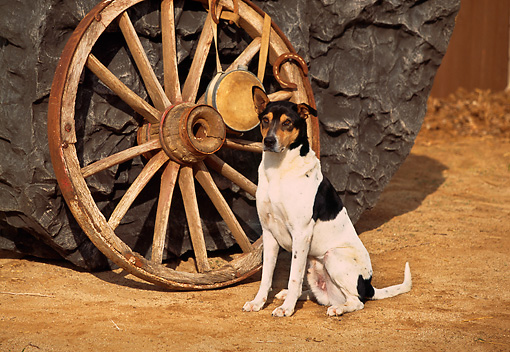 DOG 07 RK0494 01 © Kimball Stock Pointer Shepherd Mix Sitting By Wagon Wheel