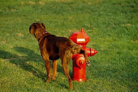 DOG 07 RK0504 02 © Kimball Stock Mixed Breed Boxer Standing By Fire Hydrant Looking Back On Grass