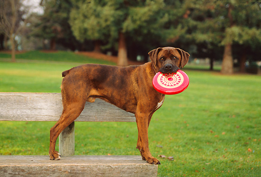 DOG 07 RK0509 01 © Kimball Stock Profile Shot Of Mixed Breed Boxer Standing On Park Bench With Frisbee In Mouth