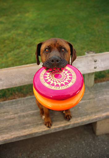 DOG 07 RK0511 05 © Kimball Stock Wide Angle Shot Of Mixed Breed Boxer Sitting On Park Bench With Frisbees In Mouth