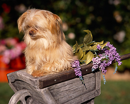 DOG 07 RK0531 05 © Kimball Stock Maltese Mixed Breed In Wooden Wheelbarrel With Purple Flowers