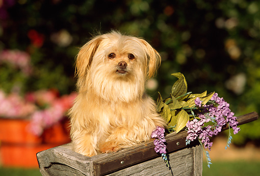 DOG 07 RK0531 08 © Kimball Stock Maltese Mixed Breed In Wooden Wheelbarrel With Purple Flowers