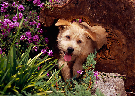 DOG 07 RK0537 01 © Kimball Stock Head Shot Of Mixed Breed In Tree Hole Stump By Purple Flowers