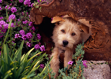 DOG 07 RK0537 05 © Kimball Stock Head Shot Of Mixed Breed In Tree Hole Stump By Purple Flowers