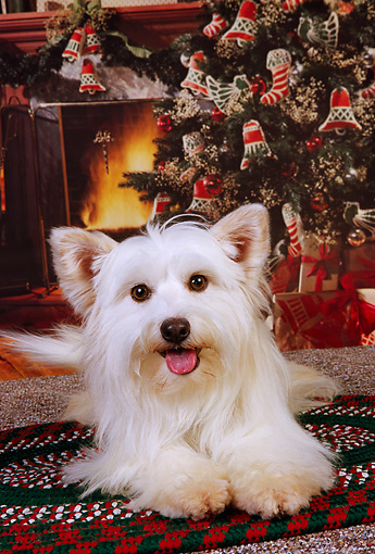 DOG 07 RK0556 03 © Kimball Stock Mixed Breed Terrier Laying On Rug Christmas Tree Background