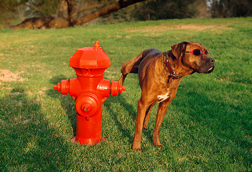 DOG 07 RK0572 01 © Kimball Stock Mixed Breed Boxer In Act Of Urinating On Fire Hydrant On Grass