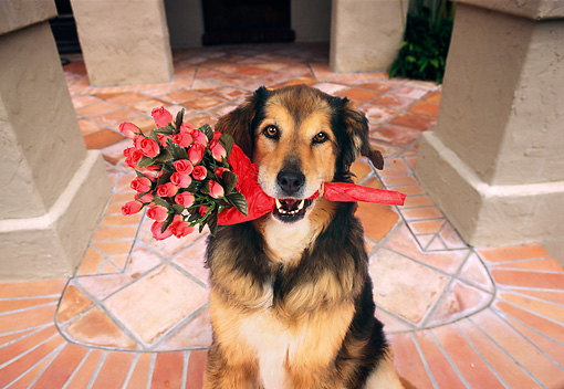 DOG 07 RK0573 01 © Kimball Stock Collie-Labrador Mix Arriving For Date With Bunch Of Roses