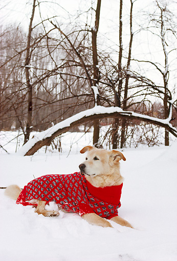 DOG 07 RS0022 01 © Kimball Stock Mixed Breed Laying On Snow Wearing Sweater