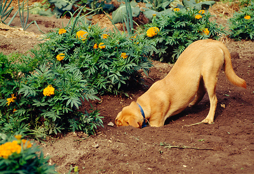 DOG 07 RS0025 01 © Kimball Stock Yellow Labrador Retriever Digging In Garden By Flowers