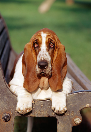 DOG 08 CB0003 01 © Kimball Stock Portrait Of Basset Hound Laying On Park Bench
