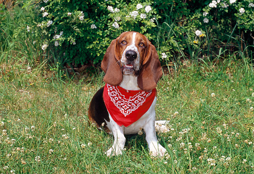 DOG 08 CE0007 01 © Kimball Stock Basset Hound Sitting On Grass Wearing Red Bandana