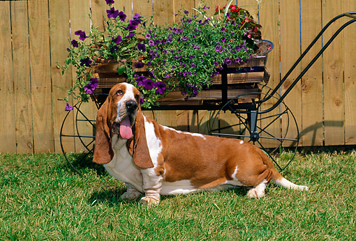 DOG 08 CE0009 01 © Kimball Stock Basset Hound Laying In Grass By Wagon With Purple Flowers