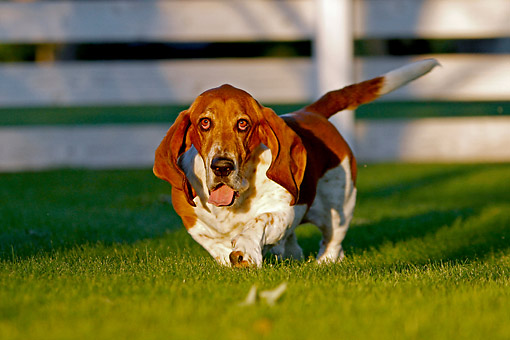 DOG 08 DB0001 01 © Kimball Stock Basset Hound Walking Through Grass