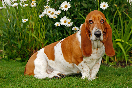 DOG 08 DB0002 01 © Kimball Stock Basset Hound Sitting In Grass