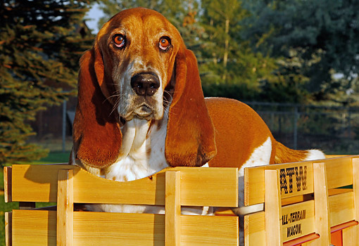 DOG 08 DB0003 01 © Kimball Stock Basset Hound Sitting In Wagon In Park