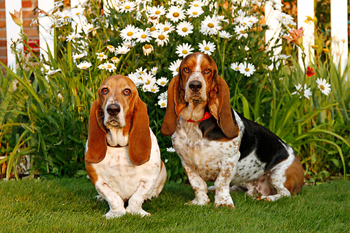 DOG 08 DB0005 01 © Kimball Stock Basset Hounds Sitting In Grass By Flowers