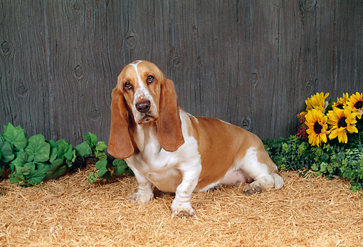 DOG 08 FA0005 01 © Kimball Stock Basset Hound Sitting On Tan Bark By Sunflowers