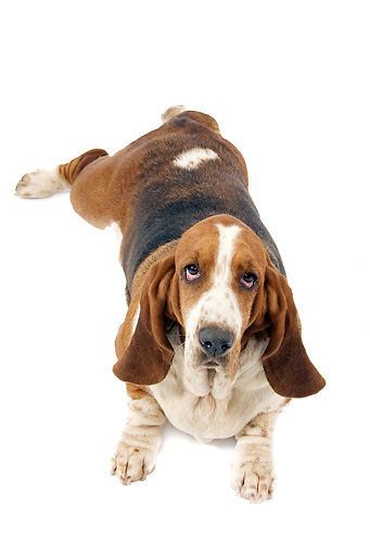DOG 08 JE0015 01 © Kimball Stock Basset Hound Laying On White Seamless Overhead