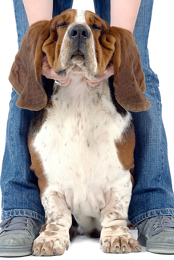 DOG 08 JE0018 01 © Kimball Stock Basset Hound Sitting On White Seamless Between Two Legs