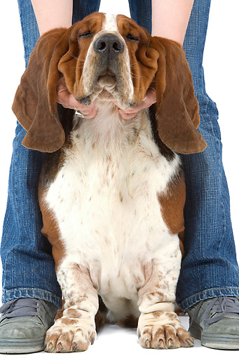 DOG 08 JE0022 01 © Kimball Stock Basset Hound Sitting Between Owner's Legs On White Seamless