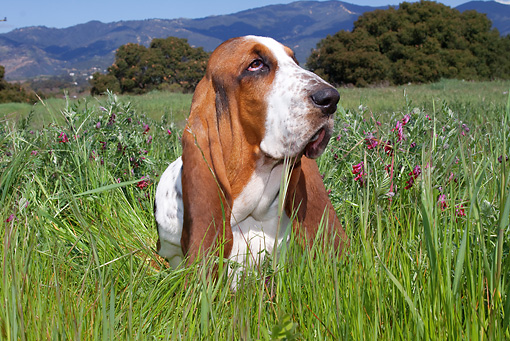 DOG 08 LS0008 01 © Kimball Stock Basset Hound Sitting In Field Of Tall Grass