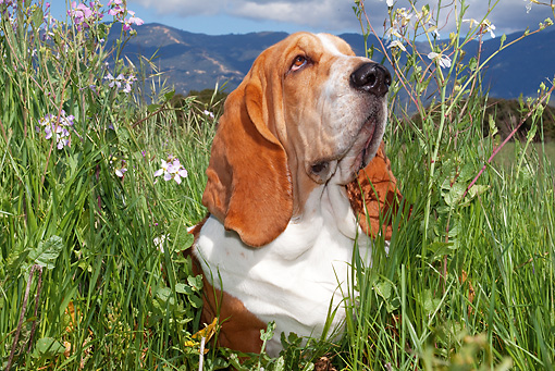 DOG 08 LS0009 01 © Kimball Stock Basset Hound Sitting In Field Of Tall Grass