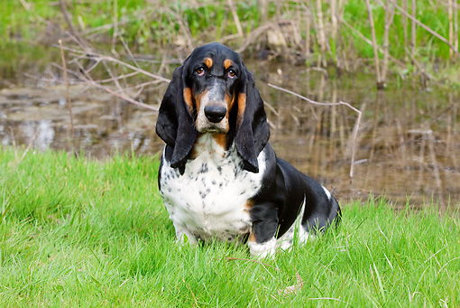 DOG 08 LS0012 01 © Kimball Stock Basset Hound Sitting On Grass By Water