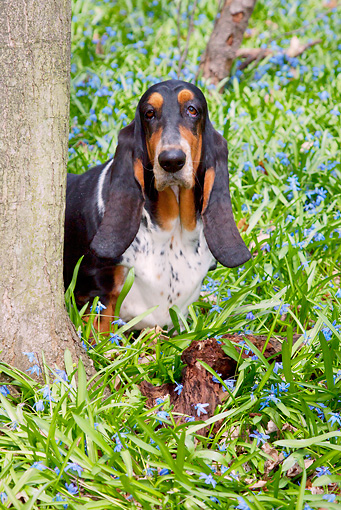 DOG 08 LS0018 01 © Kimball Stock Basset Hound Standing In Flowers Behind Tree