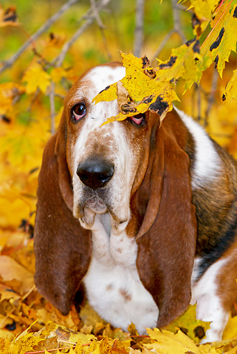 DOG 08 LS0019 01 © Kimball Stock Male Basset Hound Sitting In Autumn Leaves