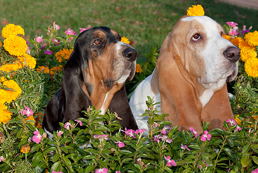 DOG 08 LS0024 01 © Kimball Stock Close-Up Of Two Basset Hounds Sitting In Garden