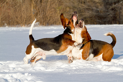 DOG 08 LS0025 01 © Kimball Stock Two Male Basset Hounds Playing In Snow St. Charles, Illinois
