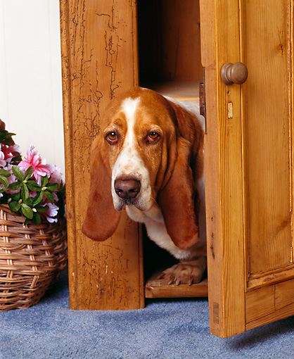 DOG 08 RK0026 04 © Kimball Stock Basset Hound Chester Peeking Through Door By Basket Of Pink Flowers Head Shot