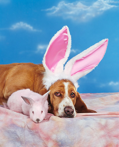 DOG 08 RK0071 05 © Kimball Stock Head Shot Of Basset Hound Wearing Rabbit Ears Laying Next To Rabbit On Mottled Cloth Blue Clouds Background