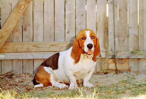 DOG 08 CE0003 01 © Kimball Stock Basset Hound Sitting On Grass By Fence