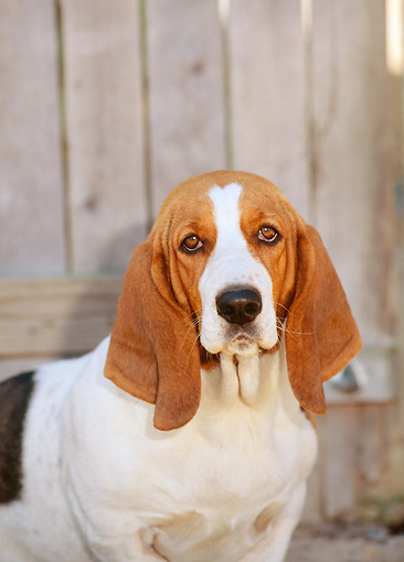DOG 08 CE0004 01 © Kimball Stock Shoulder Shot Of Basset Hound Sitting By Fence