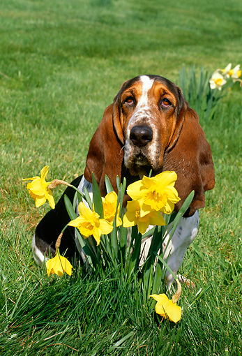 DOG 08 LS0001 01 © Kimball Stock Basset Hound Sitting On Grass By Daffodils