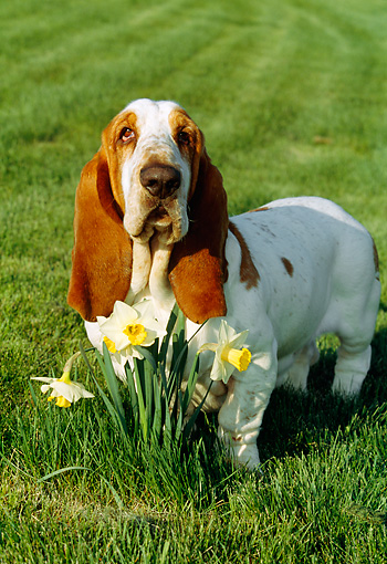 DOG 08 LS0002 01 © Kimball Stock Basset Hound Sitting On Grass By Daffodils
