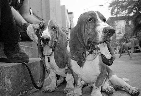 DOG 08 MQ0001 01 © Kimball Stock Group Of Basset Hound Dogs Sitting On Steps Manhattan New York