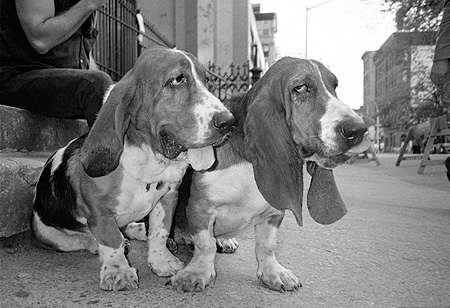 DOG 08 MQ0003 01 © Kimball Stock Group Of Basset Hound Dogs Sitting On Pavement Manhattan New York