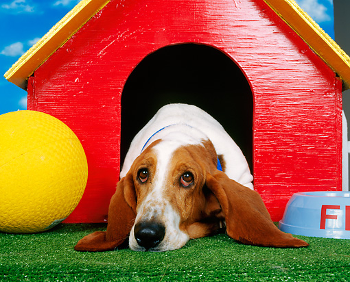 DOG 08 RK0012 01 © Kimball Stock Head Shot Of Basset Hound Laying In Dog House Studio