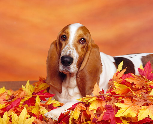 DOG 08 RK0017 03 © Kimball Stock Basset Hound Laying On Autumn Leaves Studio