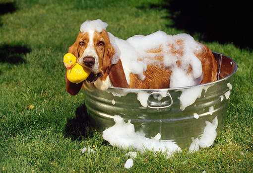 DOG 08 RK0018 22 © Kimball Stock Basset Hound Standing In Washtub With Suds Holding Rubber Duck In Mouth