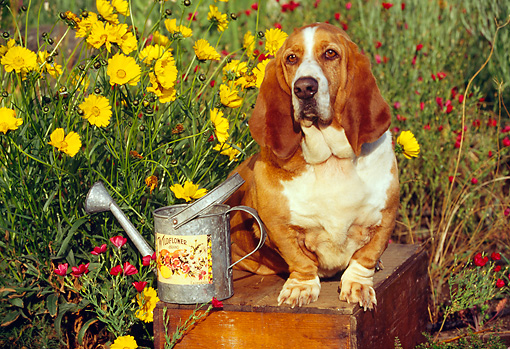 DOG 08 RK0025 09 © Kimball Stock Basset Hound Sitting On Wooden Table By Watering Can And Yellow Flowers