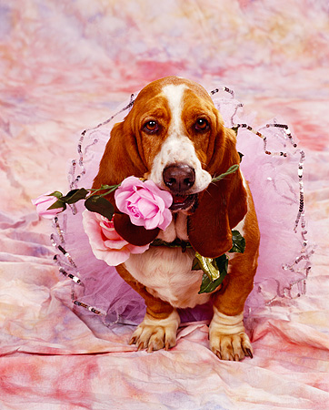 DOG 08 RK0038 04 © Kimball Stock Basset Hound Chester Sitting In Tutu With Pink Rose In Mouth Pink Mottled Background