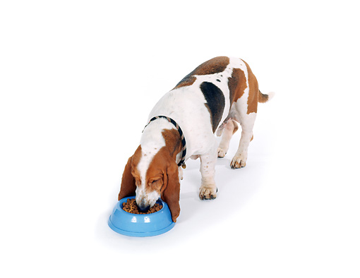 DOG 08 RK0048 01 © Kimball Stock Basset Hound Standing Eating Food From Blue Bowl On White Seamless Studio