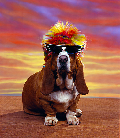 DOG 08 RK0068 02 © Kimball Stock Basset Hound Chester Sitting Wearing Sunglasses And Wig Sunset Background