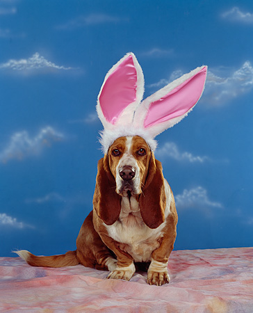 DOG 08 RK0069 03 © Kimball Stock Basset Hound Sitting Wearing Rabbit Ears Blue Clouds Background