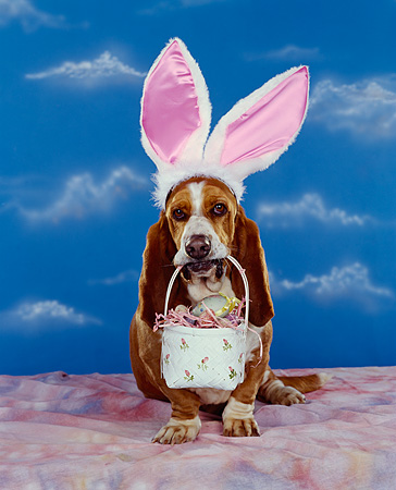 DOG 08 RK0073 03 © Kimball Stock Basset Hound Sitting Wearing Rabbit Ears Holding Basket In Mouth Mottled Cloth Blue Clouds Background